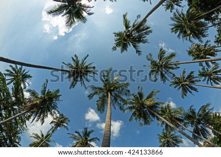 looking up to the tops of coconut palm trees - stock photo