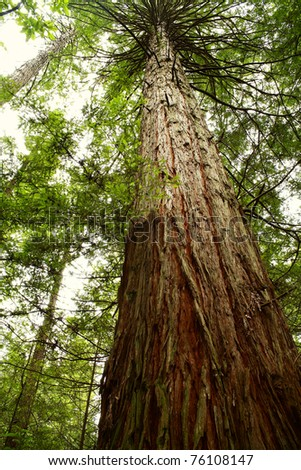 Looking up trunk of tall Redwood tree in forest - stock photo
