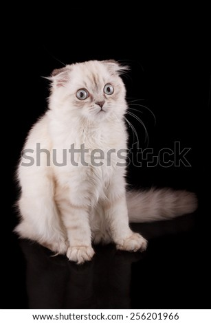 Lop-eared kitten on a magnificent black background. - stock photo
