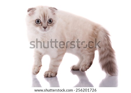 Lop-eared kitten on a magnificent white background. - stock photo