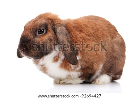 Lop-eared rabbit isolated on white - stock photo