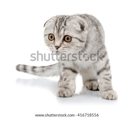 lop-eared scottish cat  isolated on white background - stock photo