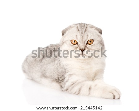 lop-eared scottish cat looking at camera. isolated on white back