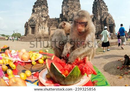 LOPBURI,THAILAND-NOV 30 : The monkeys enjoy eating local fruits ,vegetables,salad,eggs,dessert which bring people to thank in Monkey party on November 30,2014,Phraphrangsamyod temple,Lopburi,Thailand. - stock photo