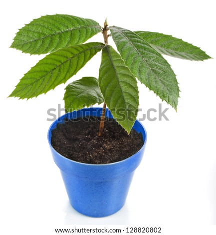 Loquat Medlar Seedling Tree  in Blue Pot isolated on a white background - stock photo