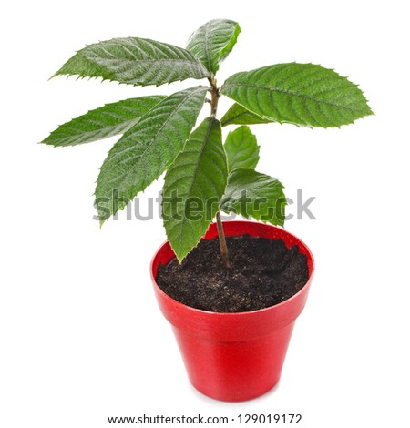 Loquat Medlar Seedling Tree in Red Pot isolated on a white background - stock photo