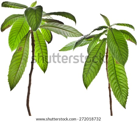 Loquat Medlar Tree isolated on a white background - stock photo