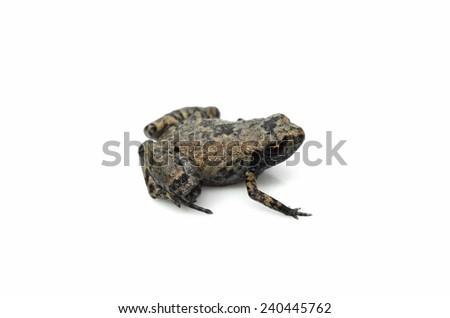 Loreto leaf frog (Noblella myrmecoides) - stock photo