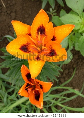 Loretto Lily flowers - stock photo