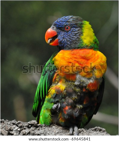 Lorikeet - stock photo