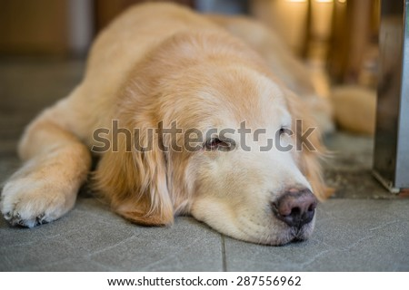 Lost Homeless  Golden Labrador Retriever Dog Sleeping On Cold Floor - stock photo