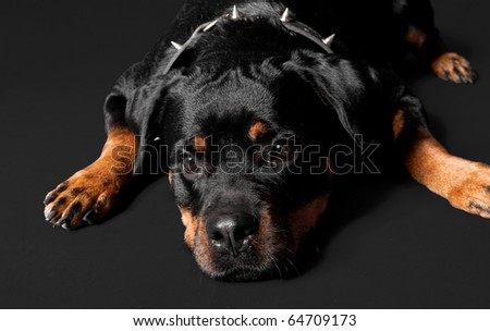 lost rottweiler portrait - stock photo