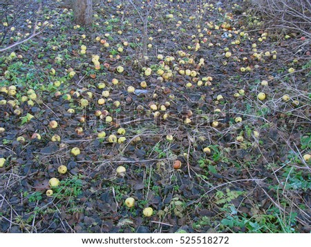 Lot of last apples fallen down from tree on ground in garden.