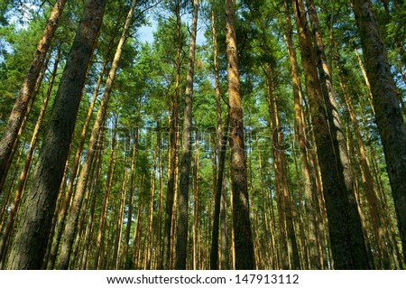 Lot of trees in forrest - stock photo