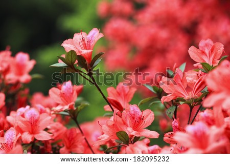 lots of azaleas blooming in spring in garden - stock photo