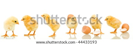 Lots of baby chicken in different positions - isolated with reflection - stock photo