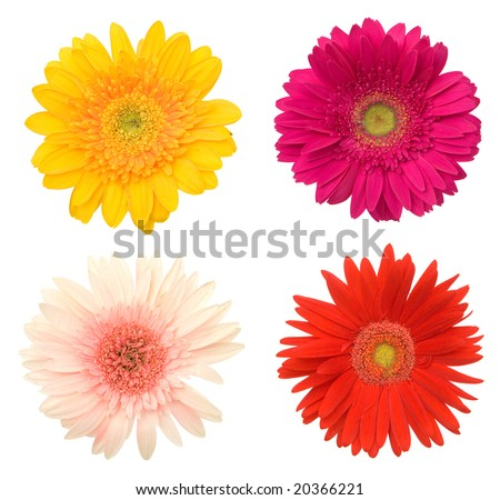 lots of beautiful colorful daisy flowers on white