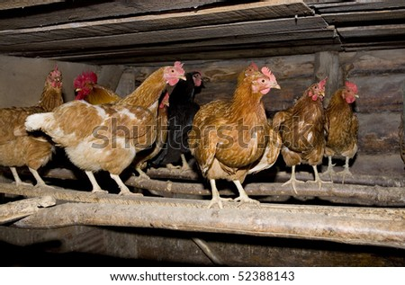 Lots of chicken at rural farm - stock photo