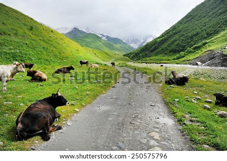Lots of cows resting on alpine pasture besides a mountain dirt road - stock photo