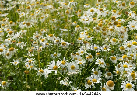 Lots of daisies growing on the lawn - stock photo