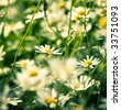 Lots of daisies in squared composition. - stock photo