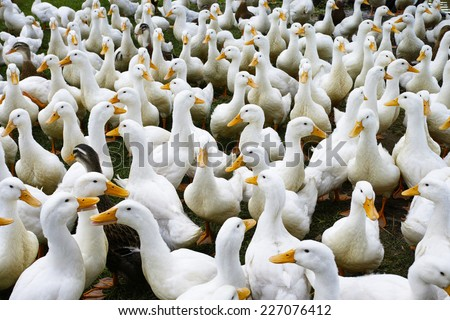 Lots of duck in local farm Long An, Vietnam - stock photo