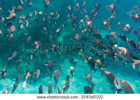 Lots of fish underwater. Indian ocean.