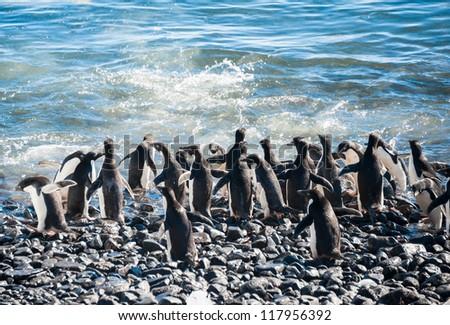 Lots of gentoo penguins going to swim. Antarctica - stock photo
