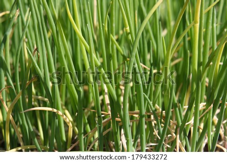 Lots of onions growing in spring  - stock photo