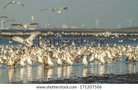 Lots of Seagulls on the beach in Holland. In the background you see the industry of Rotterdam. - stock photo