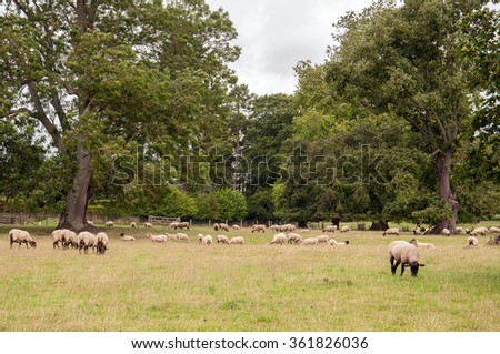 Lots of Sheep in a field