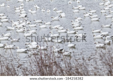 Lots of Snow Geese at the Middle Creek Wildlife Management Area - stock photo