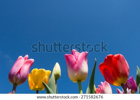 Lots of tulips in front of a blue sky