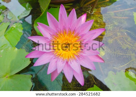 Lotus , a flower of Buddhism - stock photo