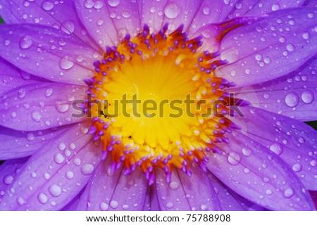 Lotus and Drop - stock photo