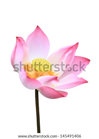 lotus aquatic flora blossom isolated on white with work paths