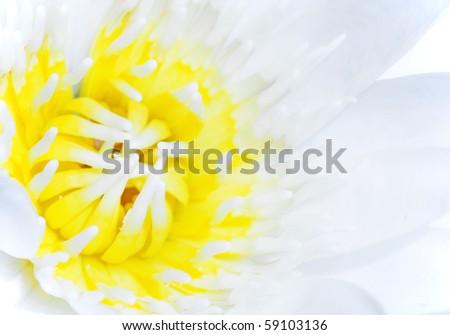 lotus background - stock photo