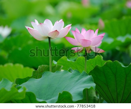 lotus bloom in the pond - stock photo