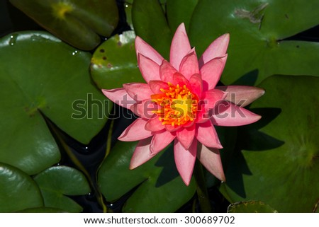 Lotus blooming and dark green leaves, This make some slightly blurred lotus leaves. - stock photo