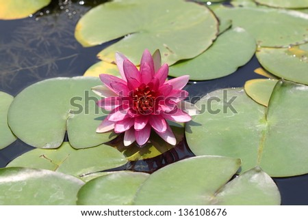 Lotus blooming in the pond
