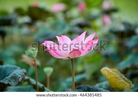 Lotus blossom lotus flower pond lotus blooming beautiful stock photo lotusblossom lotus flower in pondlotus blooming beautiful lotusbig lotus mightylinksfo