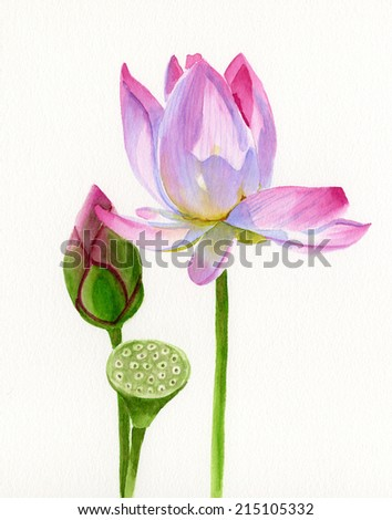 Lotus Blossom with Bud.  Watercolor painting, illustration, of a light pink lotus blossom with bud and seed pod.