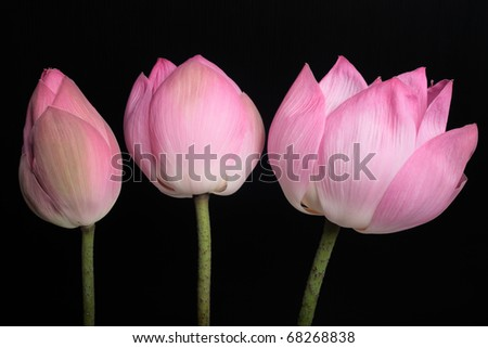 Lotus bud growth to Lotus in full bloom with black background - stock photo
