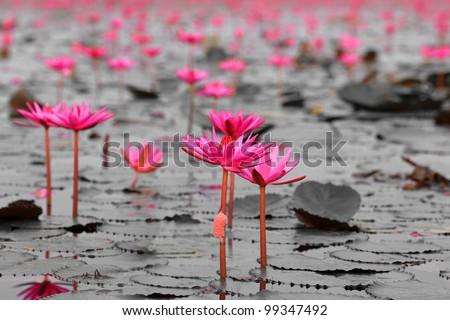 Lotus field monotone in the Lake Nong Harn, Thailand - stock photo