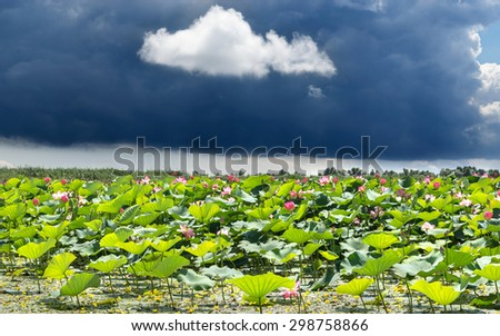 Lotus field panorama - stock photo
