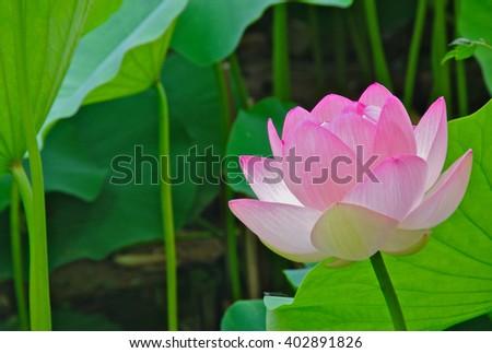 Lotus Flower - stock photo
