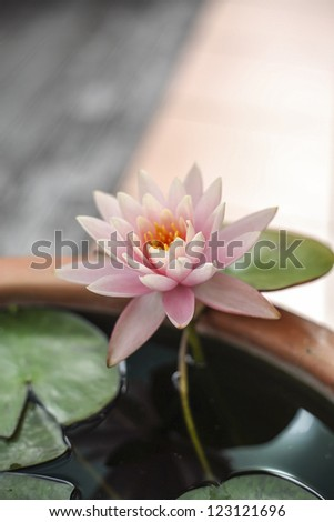 lotus flower/ a lily lotus flower unfurls as the sunlight reaches it
