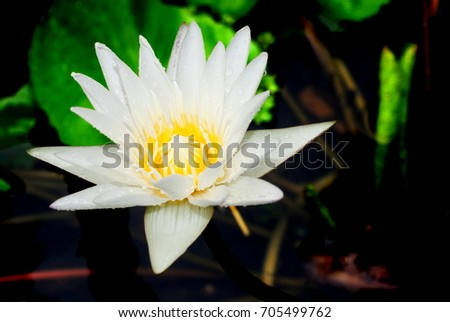 Lotus flower after rain water lily stock photo royalty free lotus flower after rain water lily science name nymphaea lotus linn mightylinksfo