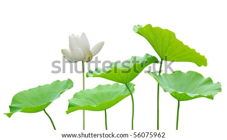 Lotus flower and leaf isolated on white - stock photo
