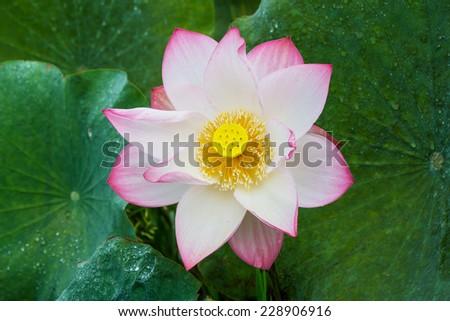 Lotus flower and Lotus flower plants - stock photo